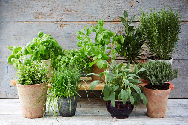 3 Medicinal Herbs to Grow at Home